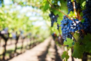 What kind of wine is grown in Prague? Have a glass and taste the atmosphere of the Grébovka vineyard